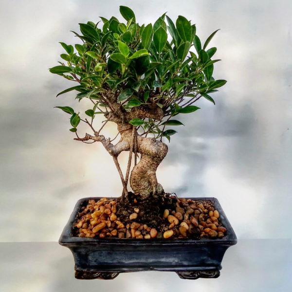 Bonsai Ficus - Envío de flores y plantas, Florería La Fleur, Montevideo, Uruguay.